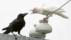 black-and-white-ravens